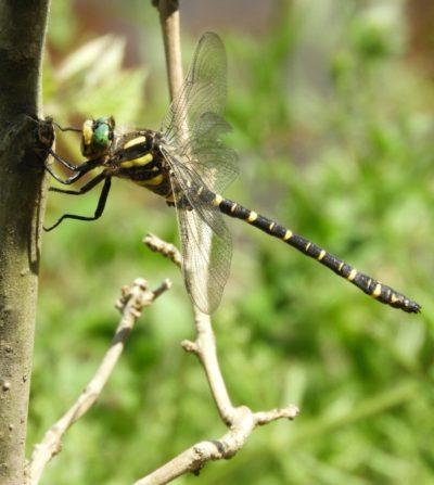 Golden ringed dragonfly