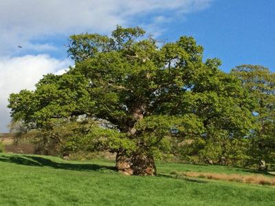 Tottergil oak